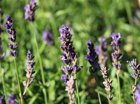 lavendel blue river lavandula angustifolia blue