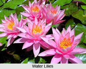 water lily indian aquatic plant