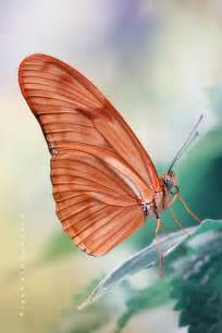 Coral Colored Butterfly