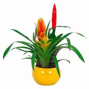 Grünpflanzen Für Innen : bromelien arrangement topf ca 15 cm kaufen bei obi ~ Eleganceandgraceweddings.com Haus und Dekorationen