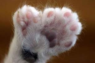 cats with toes polydactyl paw with 7 toes cats 2