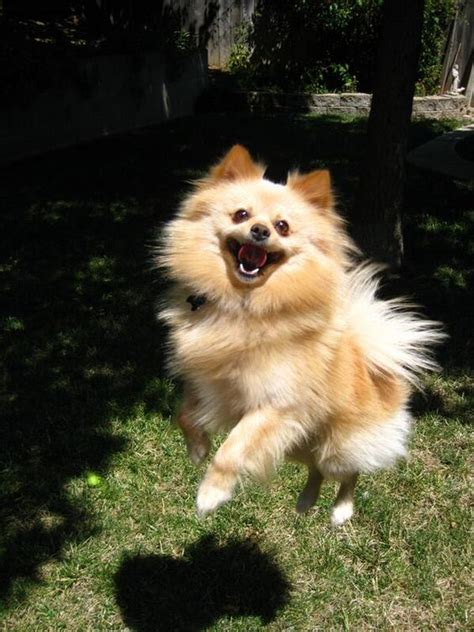 pomeranians happy