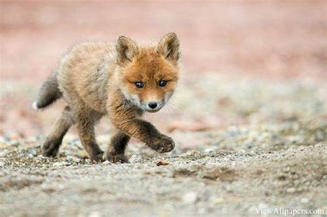 Baby Animals Wallpaper - baby fox wallpapers baby animals