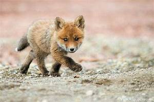 Baby fox wallpapers | Baby Animals