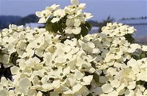 Cornus Kousa Schmetterling : d oltmanns baumschulpflanzen bildergalerie ~ Michelbontemps.com Haus und Dekorationen