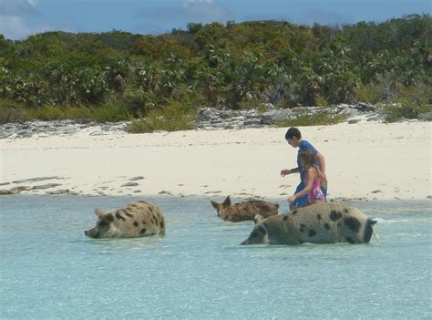 Swimming Pig Off The Island Of Big Major Cay » Gagdaily News