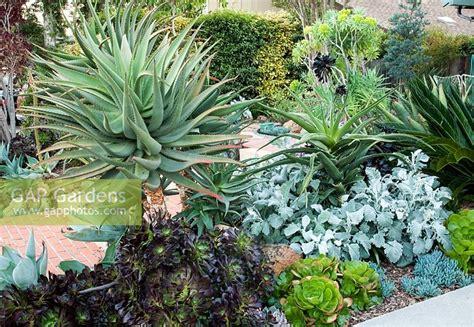aeonium purpureum gap gardens aloe aeonium purpureum cv senecio cineraria cirrus cycas revoluta senecio