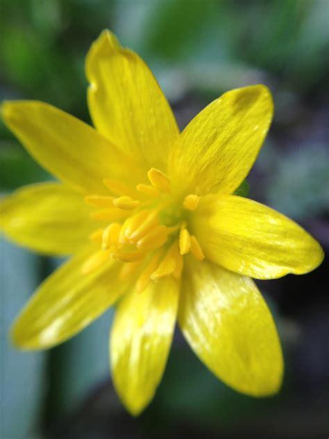 วอลเปเปอร์ : แมโคร, สีเหลือง, ปลูก, narcissus, กลีบดอก ...