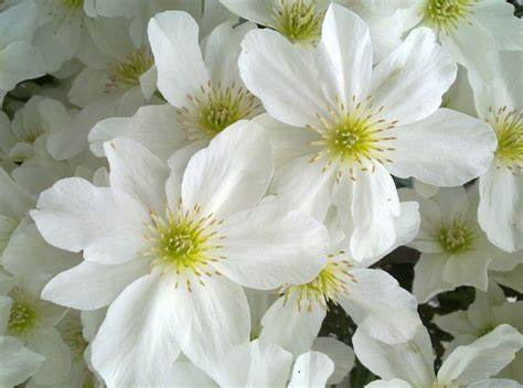 white flower varieties 28 images beautiful white flowers for backyard gardens