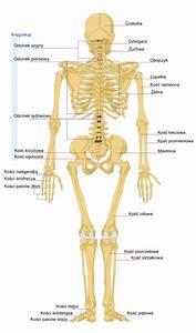 File Human Skeleton Back Pl Svg