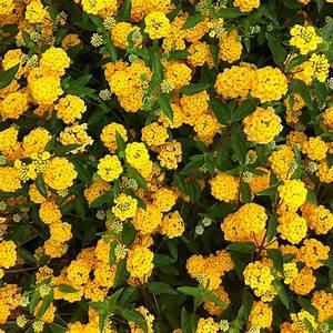 arbuste a fleurs jaunes liste ooreka With modele de rocaille de jardin 15 fleur qui fleurit en avril ooreka