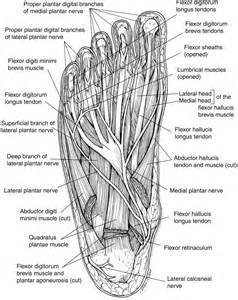 Foot Nerve Anatomy Diagram