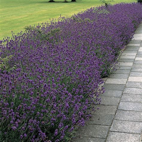 lavender plant height munstead lavender seeds from park seed