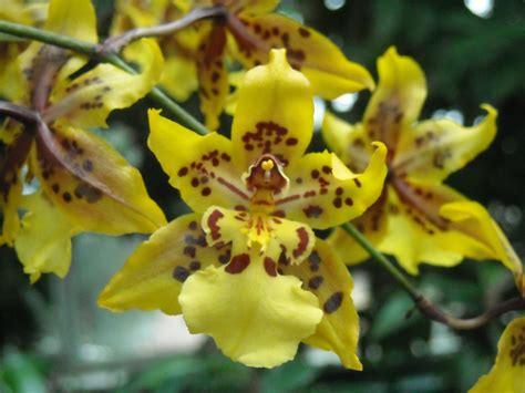 the orchid dancing lady orchids dancing perfectly free