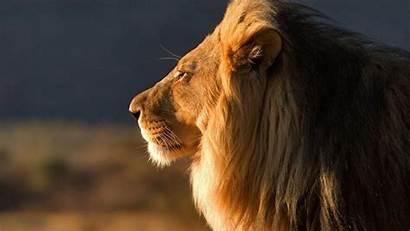 Lion Screensavers Screensaver Wallpapers Close Backgrounds Desktop