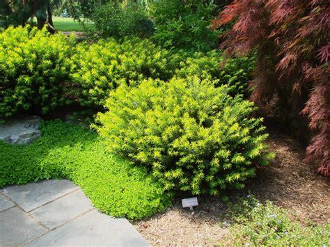 yew gardens cephalotaxus harringtonia duke gardens the site gardener