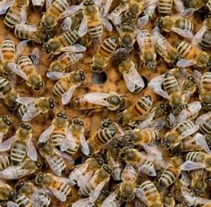 Mittel Gegen Bienen : bienen forscher entdecken medikament gegen gef hrlichen bienensch dling welt ~ Frokenaadalensverden.com Haus und Dekorationen