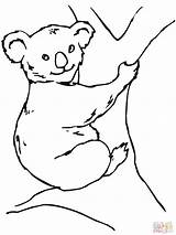 Koala Coloring Pages Bear Panda Clipart Advertisement sketch template