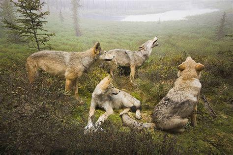 packs  humans howl  wolf sightings   box