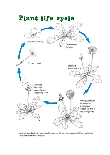 cycle of a plant by kew gardens teaching resources