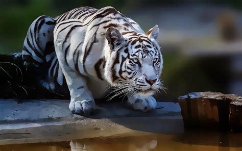 terkeren  foto wallpaper harimau putih rona wallpaper