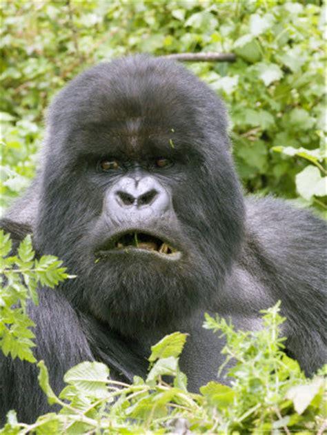 grizzly bear  gorilla battles comic vine
