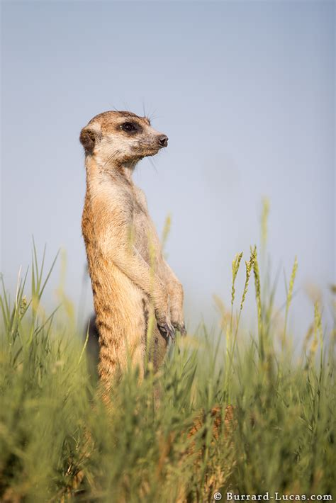 sentry meerkat burrard lucas photography