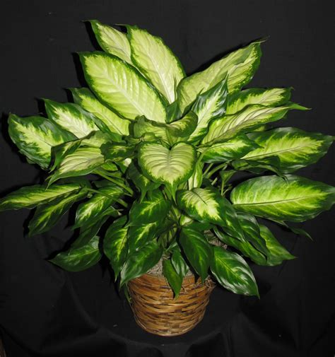 pictures of plant dieffenbachia