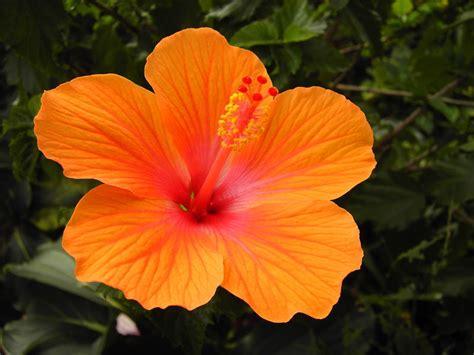 Orange Pilze Im Garten by Hibiskus Zimmerpflanze Kaufen Hibiskus Hibiscus Rosa