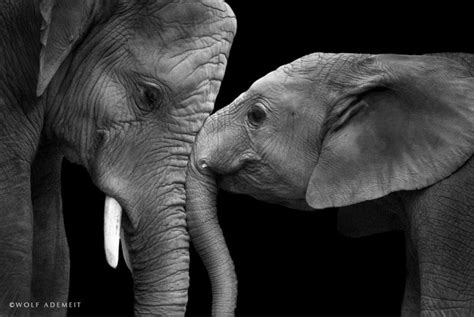 elephant love photographer shows  emotional side
