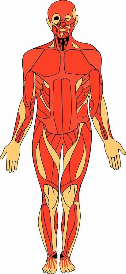 Anatomy Human Clipart Clip Cliparts Svg Transparent