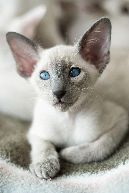 Big Ears Siamese Cats Pinterest Beautiful Cute Cats