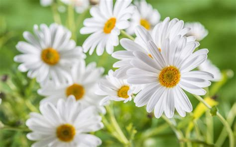 chamomile flower  oldest medicinal herbs  daisies