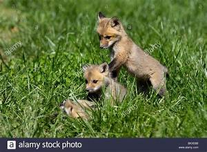 Baby Red Foxes Playing | www.imgkid.com - The Image Kid ...