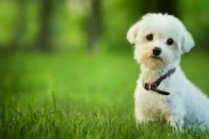 small dog breeds that don t shed a quick guide