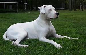 Dogo Argentino History, Personality, Appearance, Health ...