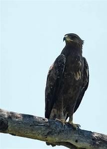 A collection of raptors - Simons Birding Blog