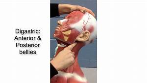 Suprahyoid And Infrahyoid Muscles - Anatomy Tutorial