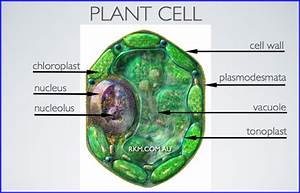 Is Tonoplast A Cell Organelle