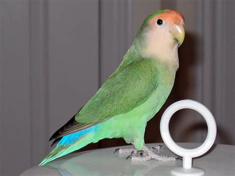 rosy faced lovebird colour genetics wikiwand