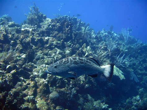 conservation grouper animals ocean uploaded