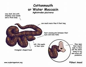 Snake  Cottonmouth Or Water Moccasin