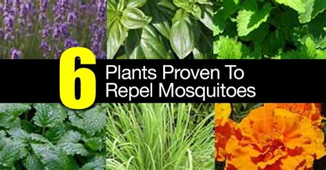 plants to repel mosquitos 6 plants proven to repel mosquitoes