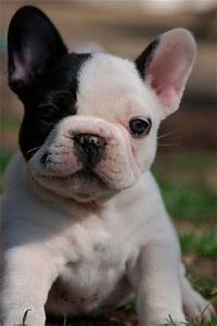 The gallery for --> Baby White French Bulldog