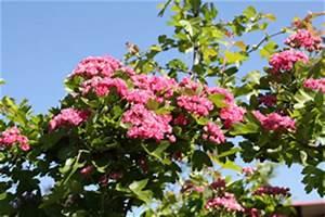 Laubbaum Mit Roten Blättern : rotdorn kugelbaum gr ser im k bel berwintern ~ Frokenaadalensverden.com Haus und Dekorationen