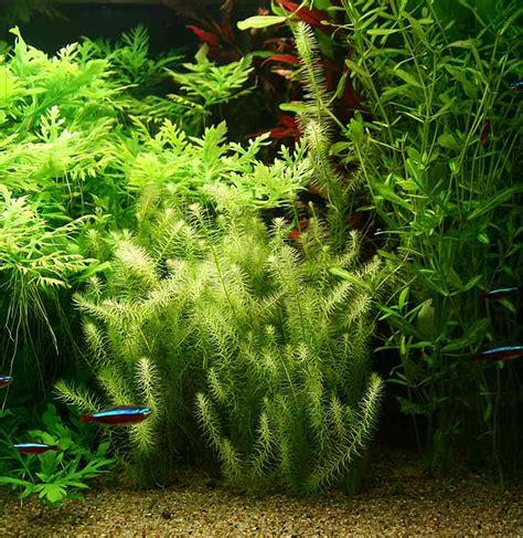 plante aquarium facile atlub