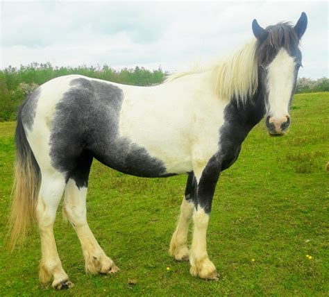 irish draught cob horse horses lovely horsesales ie sport