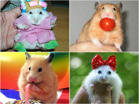imagenes graciosas de hamsters todo mascotas