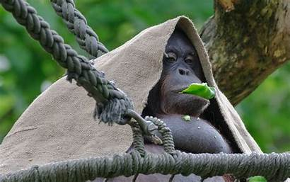 Orangutan Hungry
