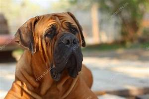 Boerboel, South African bulldog — Stock Photo © JanDix ...